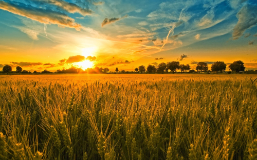 Wheat for reaping