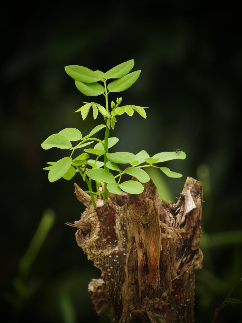 Stump-still-growing