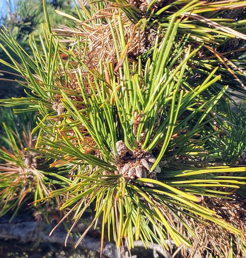Pine-needle-tree